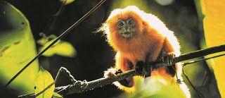 Febre amarela chega a Casimiro de Abreu, último refúgio de micos-leões-dourados no mundo