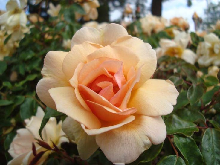 Crépuscule - Ludwigs Roses | Near double flowers, golden apricot colour, lightens as it matures. Will flower continuously into Winter.