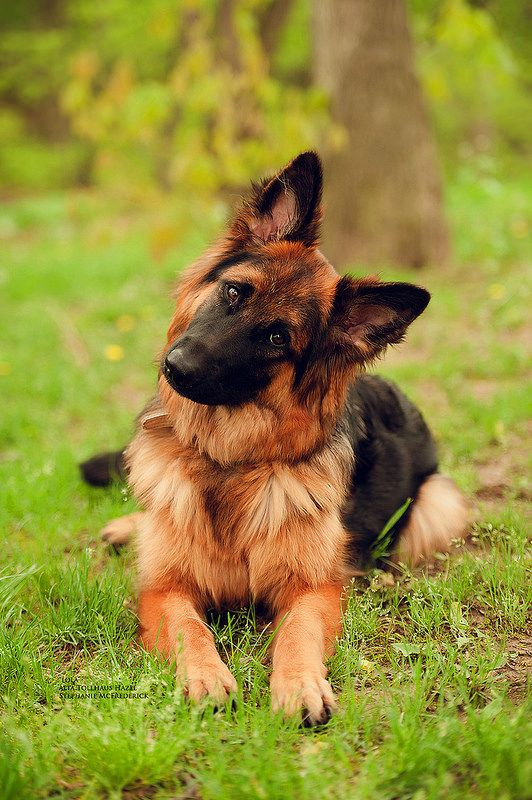 Beautiful longhaired German Shepherd. Have fallen in love with Shepherds here in Germany. Active, hard working and affectionate. And Cute. <3