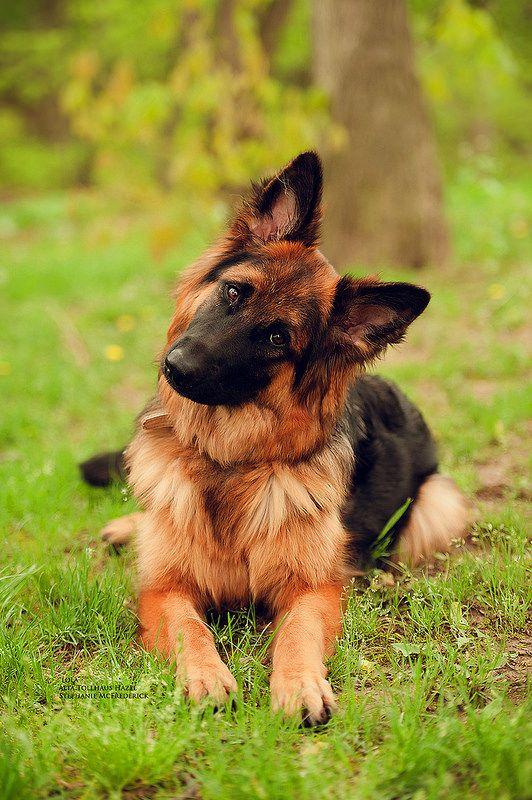 German Shepherd Dog. Who are you?