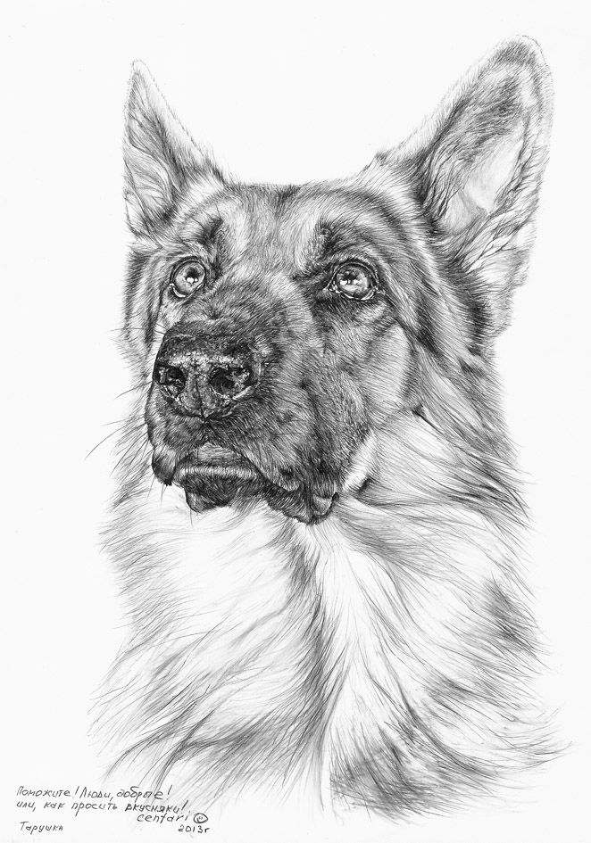 Немецкие овчарки (собаки семинара)