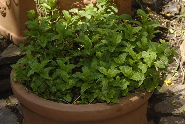 Garden and Home | Growing mint