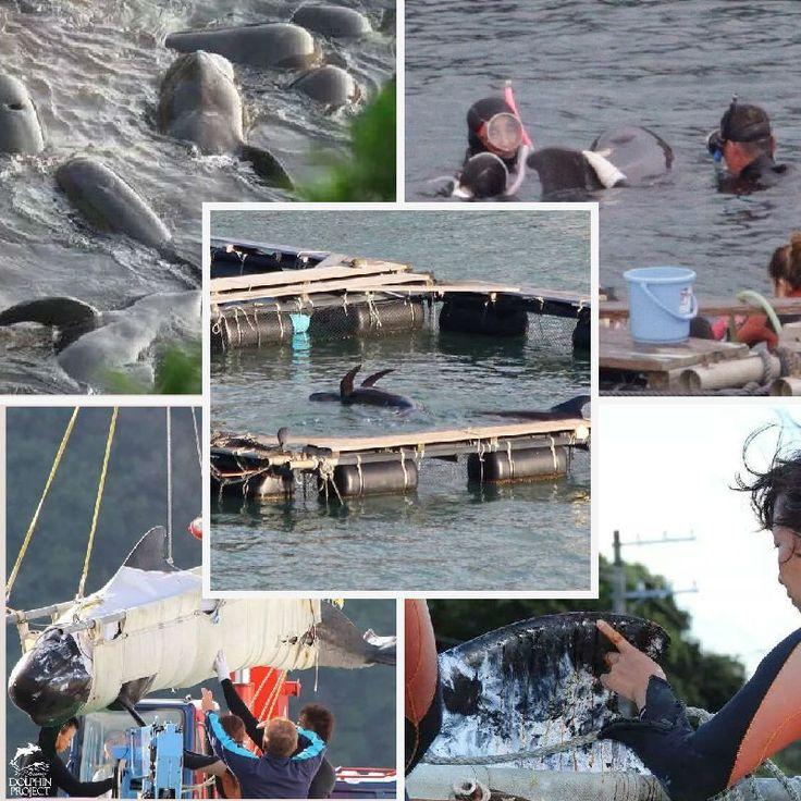 Pilot whale stolen from the wild, from her family  Look at her sad existence now #Taiji #Japan  #OpKillingBay