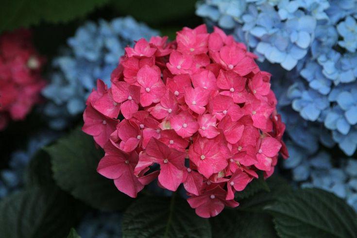 Hortenzia virág piros, kék