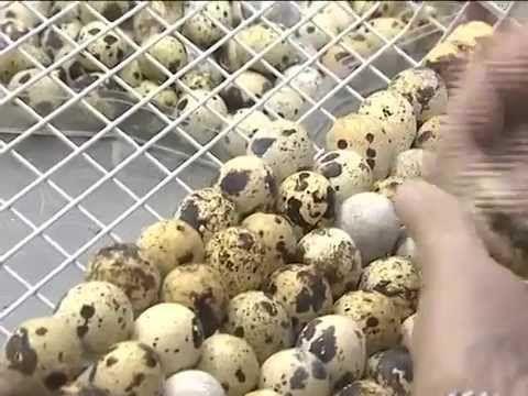 Готовим перепелиные яйца. Рецепты детям с фото и видео.
