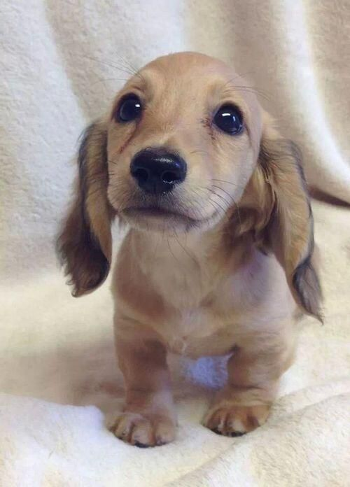 The Doxie puppy's eyes are real, and be warned, you will never be able to say no to them.
