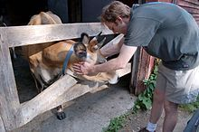 Jersey cattle - Wikipedia, the free encyclopedia