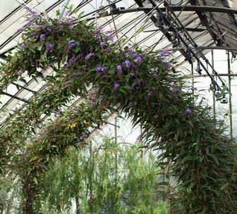 Accession Number: 1995-0610*A - Hardenbergia violacea 'Happy Wanderer'