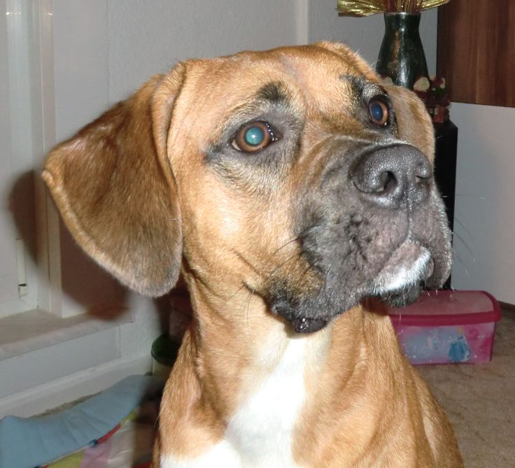 16 best images about Rhodesian ridgeback boxer mix on ...