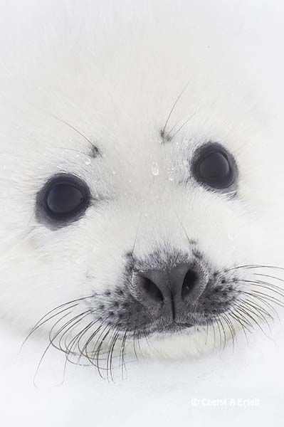 Harp Seal pup close-up of face   Harp Seal Phoca groenlandica head shot close-up Gulf of St Lawrence, Quebec CANADA