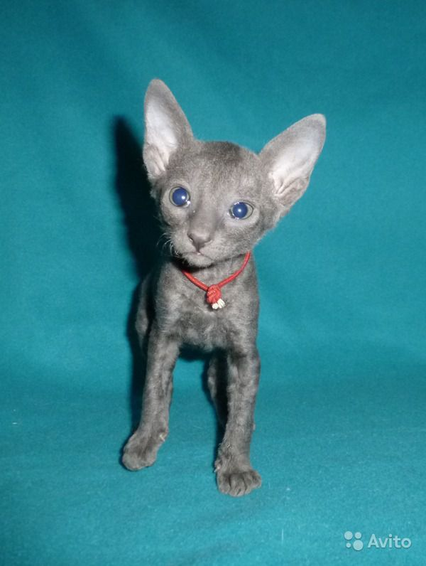 Кошечка корниш рекс голубая. питомник - купить, продать или отдать в Москве на Avito