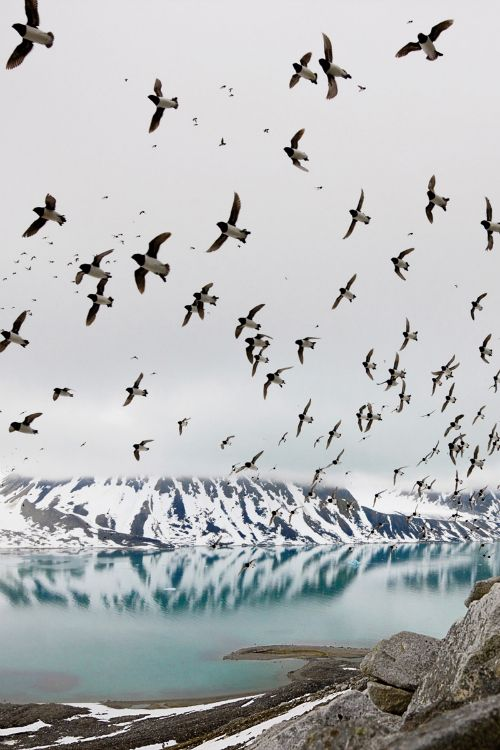 Dovekies, Svalbard, Norway - Photograph by Paul Nicklen