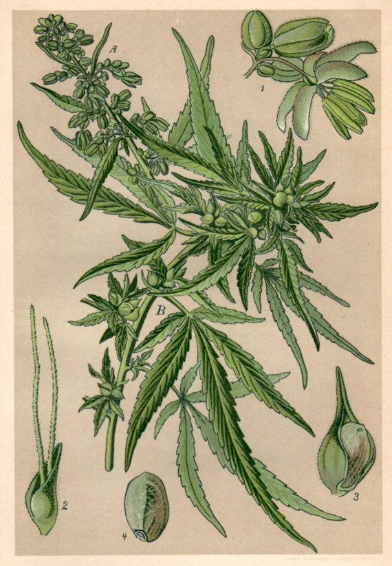 1901 Antique Botanical Print Cannabis sativa by Craftissimo