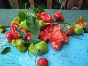 Bell Chilies