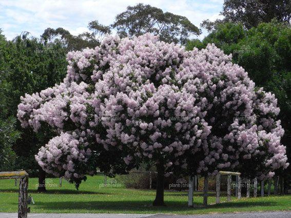 Calodendrum capense | Cape Chestnut information & photos