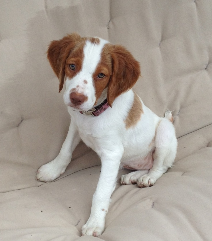 My baby riley , Cutest Brittany puppy ever