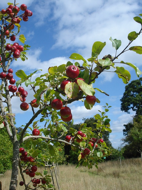 apples in the orchard - phil bartle