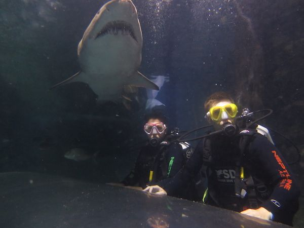 Swimming with Grey Nurse Sharks in Manly, Australia.
