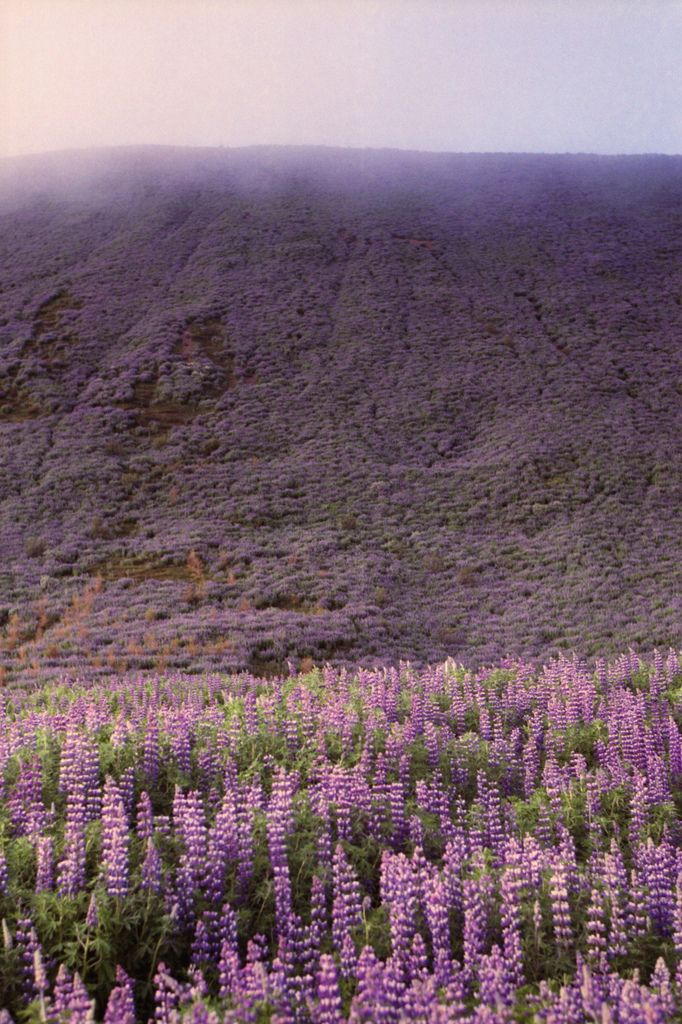 Botnsvatn Lupines   Iceland (by Lighthouse Keeperess)