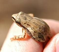 Image result for spring peeper frog