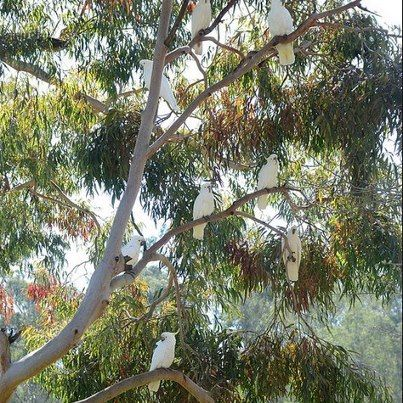 White cockatoos in a gum tree - Australia, so much nicer than a wire cage.