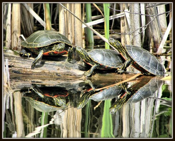 Turtles at Gardom Lake near Salmon Arm, B.C.