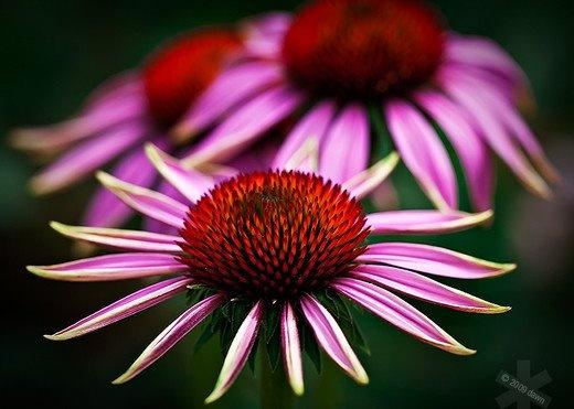 Nice coneflower photo.: Pink Flowers, Flowers Photography, Photography Basic, Purple Flowers, Inspiration Photography, Beautiful Flowers, Beautiful Pictures, Inspiration Quotes, Photography Tutorials