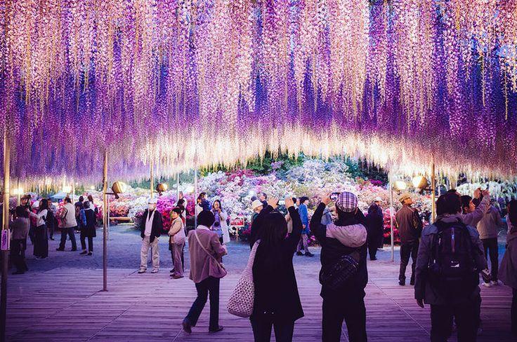 Сказочный фестиваль глицинии в Японии