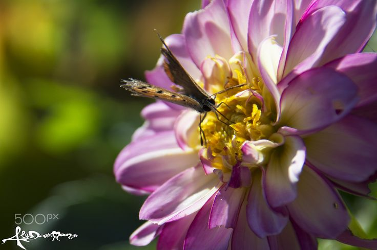 The delicate wings of October - A brown butterfly on a dahlia pink flower in my garden.. butterfly wings are so delicated