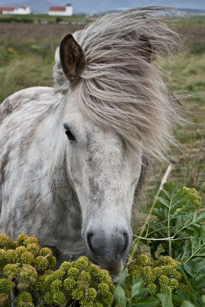 All sizes | Icelandic Horse | Flickr - Photo Sharing!