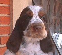 """EXPLANAÇÕES SOBRE A RAÇA Olhando hoje o Cocker Spaniel, atraente com as orelhas longas quase varrendo o solo e pêlo sedoso, pode ser difícil vê-lo como um cachorro disposto ao trabalho. Porém, o Cocker ainda tem esta habilidade e desfruta muito a satisfação de um dia no campo. No século XIX, o prefixo """"Cocker"""" foi dado para denotar a popularidade deste pequeno cão de caça por levantar e recuperar galinholas …"""