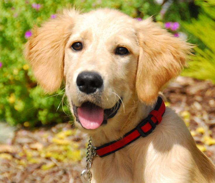 183 best Adoptable Golden Retrievers images on Pinterest ...