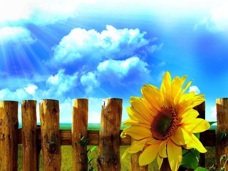 Słonecznik, Płot, Niebo