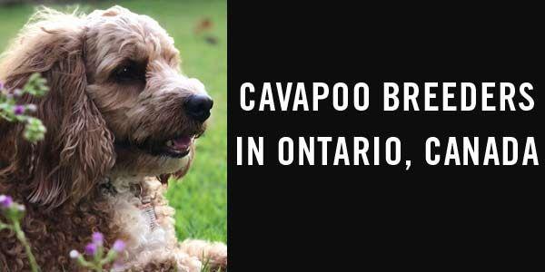 Cavapoo Breeders In Ontario Canada Cavapoo Breeders Cavapoo