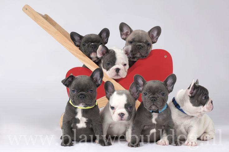 Adorable blue French bulldog puppies - litter from De Blauwe Bulldog, Holland