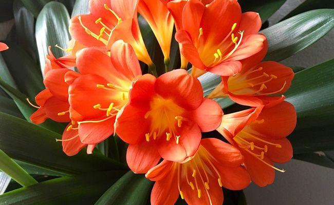 Clivia Clivia Miniata Fleur Rempotage Entretien Arrosage