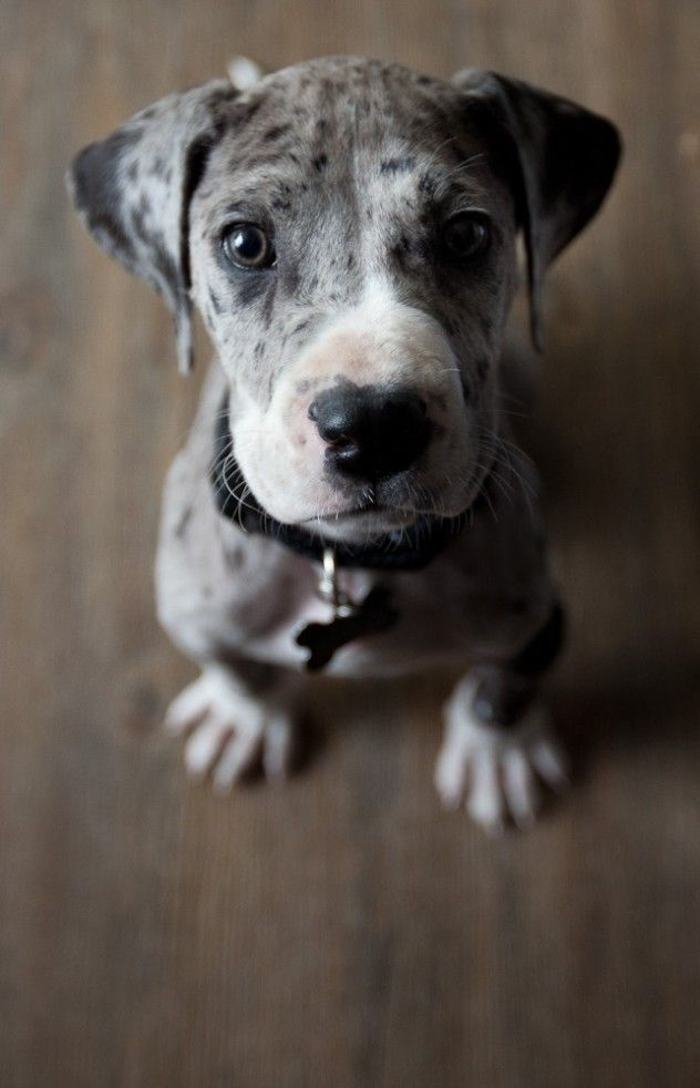 a spotted puppy staring up to the camera with sweet eyes.