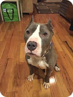 Kimbo - URGENT - Animal Care & Control Team of Philadephia in Philadelphia, Pennsylvania - ADOPT OR FOSTER - 4 year old Neutered Male Pit Bull Terrier Mix