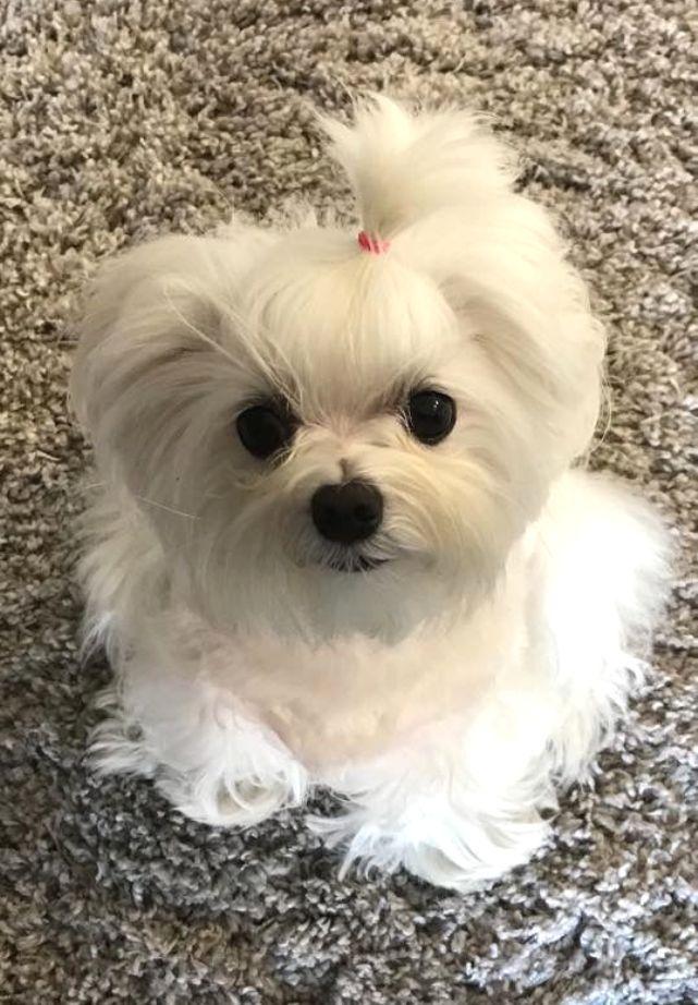 Lolll Soooo Cute Maltese Adorable Dogs They Look Like My
