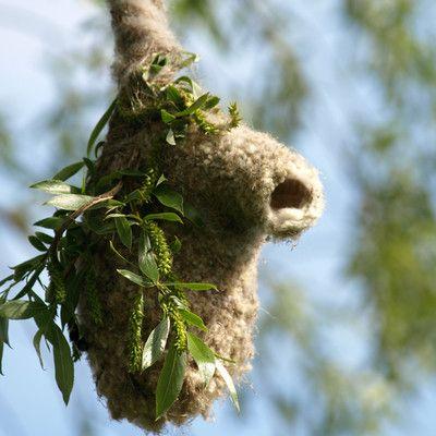 Какая птица вьет такие гнезда?   ремез! Ремез является прекрасным строителем. Его гнезда выглядят очень красиво. Молодые птенцы имеют неяркое оперение. Покинув гнездо они все еще находятся под опекой взрослых птиц.