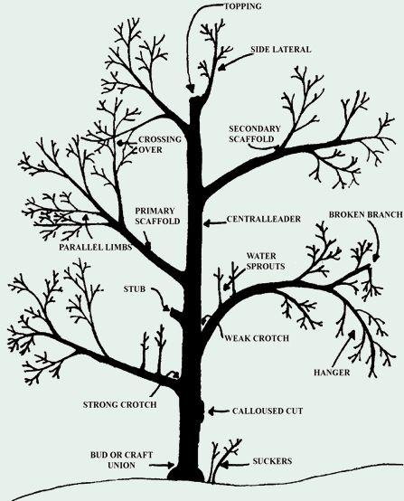 Best 25+ Apple tree pruning ideas on Pinterest | Pruning fruit ...