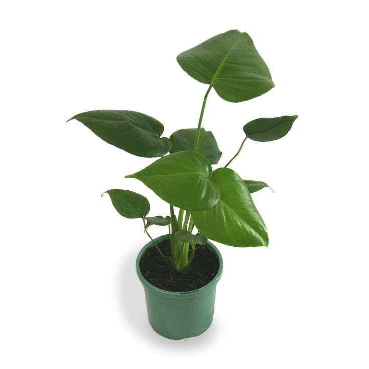 Find 130mm Monstera Deliciosa Fruit Salad Plant at Bunnings Warehouse. Visit your local store for the widest range of garden products.