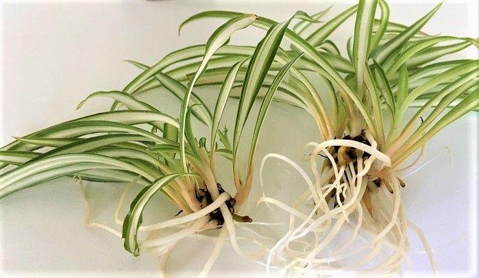 ちょっと暗め 浴室やトイレにオススメ観葉植物5選 観葉植物 風水
