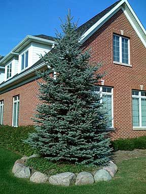20 best spruce trees images on pinterest spruce tree nature and blue spruce trees fandeluxe Gallery