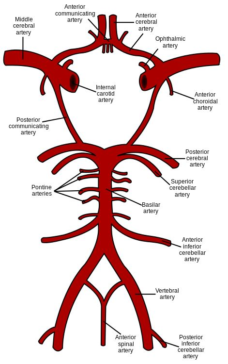 Circle of Willis en.svg                                                       …