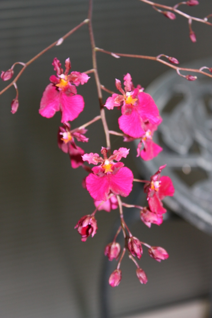 17 Best Images About Oncidium Orchids On Pinterest Horns
