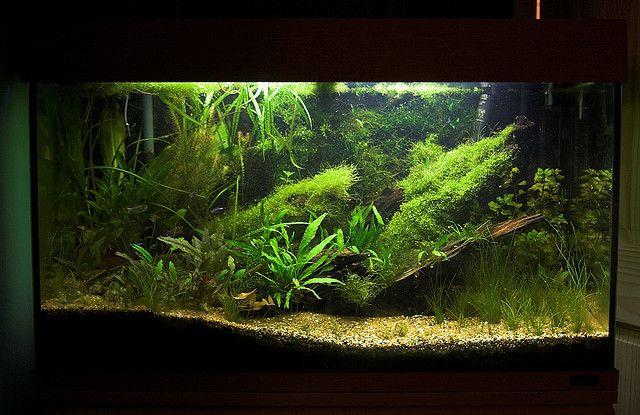 my planted aquarium Planted aquarium, Aquascape, Aquarium