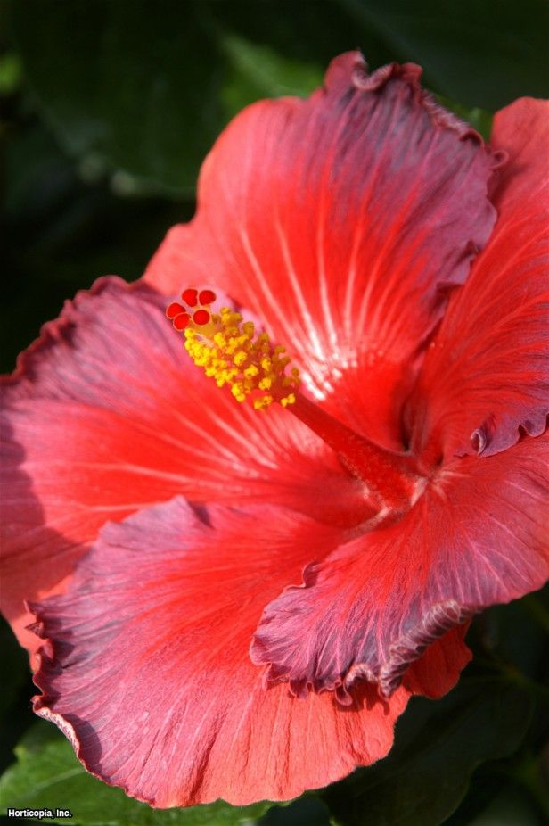 Chinese Hibiscus for the Courtyard (Hibiscus rosa-sinensis)
