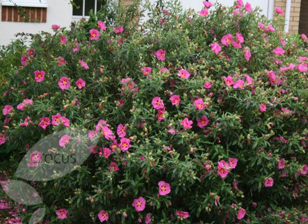 2nd post cistus rock rose wonderful dry tolerant for Pink flowering shrubs