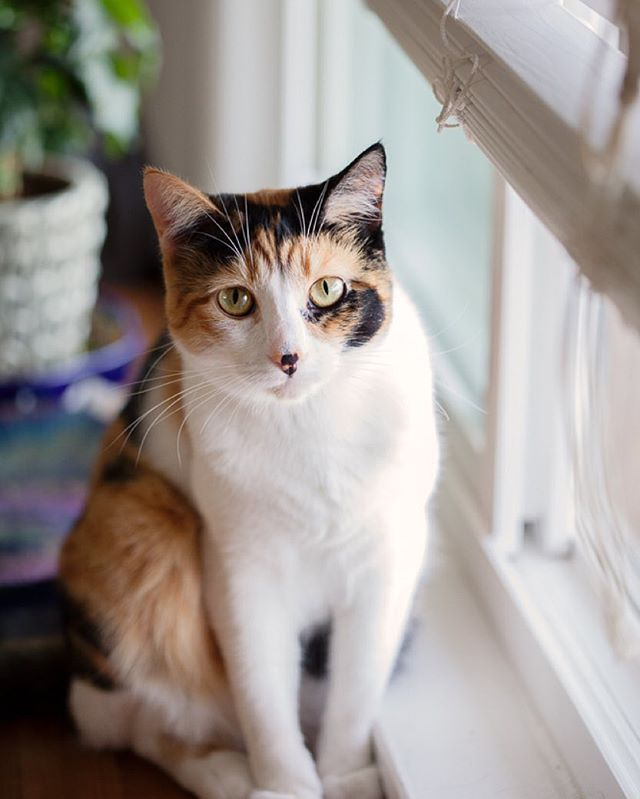 Kupo:  Kupo is an acrobat. She loves to jump 4 feet in the air doing twists and turns to catch her favourite toys. She'll also swat flies out of mid-air with her paw straight into her mouth for a snack. She's a little lady and likes to cuddle while we are playing video games   Adorable Calico Cat